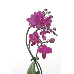 Phalaenopsis Mini - Importado